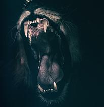 Chasing five-hundred-pound lion